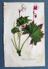 Original 1849 Hand Colored Botanical Wood Cut BEGONIA GERANIIFOLIA 5.5 by 9