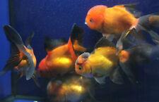 Live Red and Black Oranda Medium Goldfish for fish tank, koi pond or aquarium
