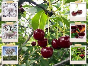 20 Mazzard Cherry Tree Seeds | Lgt. Pink Ornamental Flower - Sweet, Edible Fruit