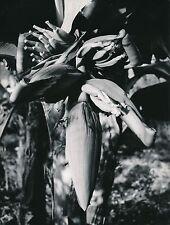 Fleur de Bananier  c. 1960 - Pousse des Petites Bananes - Div 11467