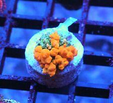 Wwc Sunkist Bounce Mushroom - Badass Frags Wysiwyg Live Coral Frag