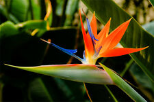 Bird of Paradise (Strelitzia Reginae) - 25 October 2018 Seeds