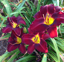 Daylily Mighty Mogul reblooming dark red hemerocallis Perennial ~ Df or 2 Plants