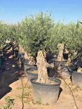 Olea Europaea - Olivenbaum winterhart alte Rinde 60-80cm Stammumfang ca.2,20m GH