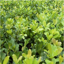 Yerba mate - Ilex paraguariensis Live Plant make your won delicious beverages!