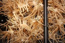 Cypripedium calceolus, 5 mehrtriebige XXL Jungpflanzen, mindestens 10 Sprosse