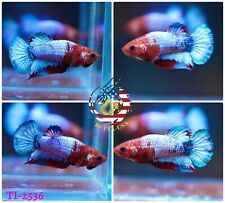 New listing [Ti-2536] Live Betta Fish High Quality Hmpk Female Red Fancy Hellboy