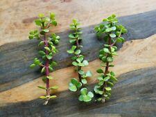 3 Fresh Cuttings Elephant Bush Portulacaria Afra Red Jade Steam Bonsai Succulent