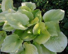 Funkie Hosta Hybride Sum and Supstance Schattenpflanze Sommerblüher