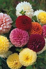 Flower - Dahlia - Pompon Double Mixed - 50 Seeds