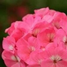 Geranio-espíritu Rose - 10 Semillas
