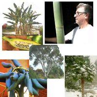 SPARSET: Schneegummi, Blaugurke, Hanfpalme, Bambus und Riesenbanane; winterhart