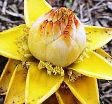 BANANO Nano Cinese - 10 semi freschi (Musella Lasiocarpa)