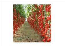 100 PC Climbing Tomato edible Tomato bonsai Vegetable plants