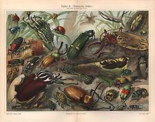 Exotique Coccinelle énorme Insecte des bousiers feu Mouche Laufkäfer Lithographie ~ 1900