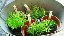 Organic Cilantro,Parsley,Chives&B asil Herb Garden Mix Grown in Usa 2017