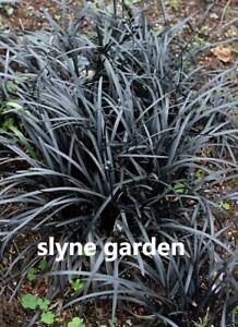 One Black Mondo Ornamental Grass Plant   Ophiopogon planiscapus 'Black Beard'