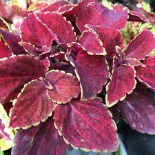 Coleus House Plants