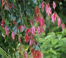 ROLY POLY SATINASH Waterhousea unipunctata native shade plant in 140mm pot