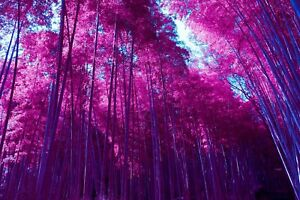 Pink Trees - Forest Woods Colourful Wall Art Large Poster / Canvas Pictures