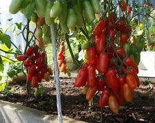 150 SEEDS / Tomato Seeds Kibits Ukraine Heirloom Vegetable Seeds