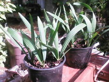 3 Sabal Minor XXL Seedlings *2 yr olds*cold hardy * SHIP DATE Aug. 15th**Free SH
