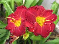 "DAYLILY  "" LIL' RED WAGON ""   REBLOOMER - DEEP VELVETY RED  - GORGEOUS"