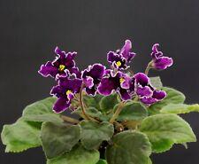 ND-Expressia NEW 2019 Blatt/ leaf African Violet Usambaraveilchen