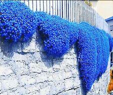 🌺🌺 Creeping Thyme Herb Flower Seeds Thymus Serpyllum Ground Cover Blue Fs4-100