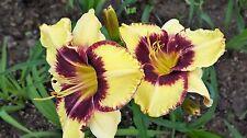Hemerocallis -  Jamaican Me Crazy -  Daylily - Cottage Garden Perennial