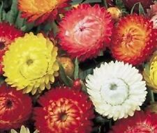 100 TALL DOUBLE MIX STRAWFLOWER Helichrysum Seeds +Gift