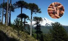 Monkey Puzzle Jurasic Tree 10 fresh seeds, Araucaria from Patagonia