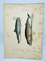 Original Antique Lacepede 1832 Hand Colored Plate 20 Dolphins