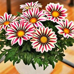 Gazania Rigens Seeds Semillas Gazania Splendens Chrysanthemum Seeds UK STOCK