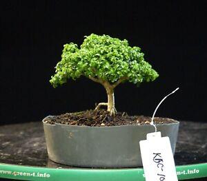 Kingsville Boxwood Bonsai Tree KBC-101D