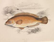 1865 CROMOLITOGRAFIA COUCH PESCI PESCA FISH ROCK COOK