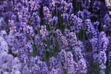 """5 Seeds Lavender """" Lady """", Lavandula Angustifolia #838"""