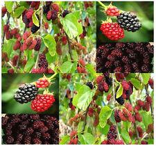Black Mulberry _ Morus nigra Fruit Tree Seeds  (10 seeds)  R-039