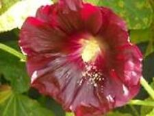25 Maroon Red Hollyhock Alcea Rosea Flower Seeds Perennial *Comb S/H + Free Gift