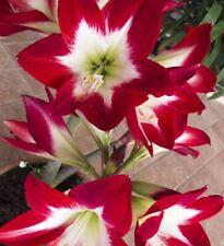 Amaryllis flower 1psc bulb AMARILLIS TRES CHICK Hippeastrum Galaxy