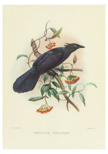 Manucodia Keraudren (Bird of Paradise) by J. Wolf & J. Smith A2 Art Paper Print