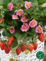 10 seeds of Toscana Strawberry - FRAGARIA ANANASSA Pink Flower + 5 of Sunflower