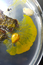 Badhamia sp. - Yellow/Orange Slime Mold Blob Sclerotium - Sclérote de blob