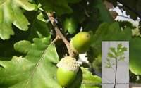 Quercus Petraea vq Eichenholz festsitzende oak Bonsai Prebonsai Pflanze Pflanze