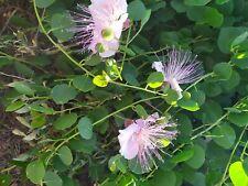 Cappero Capparis Spinosa Semi Bio commestibile fiore rosa Capparis