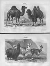 Kamele Camelidae Pako  Lama (Lama glama)  Dromedar Trampeltier Holzstich 1899