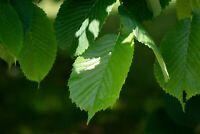 Zelkova serrata Seeds Japanese Grey Bark ELM Spectacular Fall Color Zone 5+