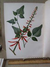 Vintage Print,DWARF CORAL PLANT,Native Flowers+Ferns,Meehan,1880,Prang