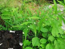 Dr T&t 500g Huang Jing/Polygonatum rizoma/Rhizoma polygonati Dry Herbs