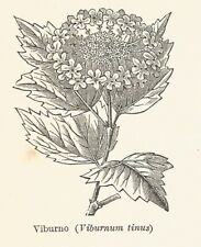 B3723 Viburno - Viburnum tinus - 1931 xilografia - Vintage engraving - Gravure